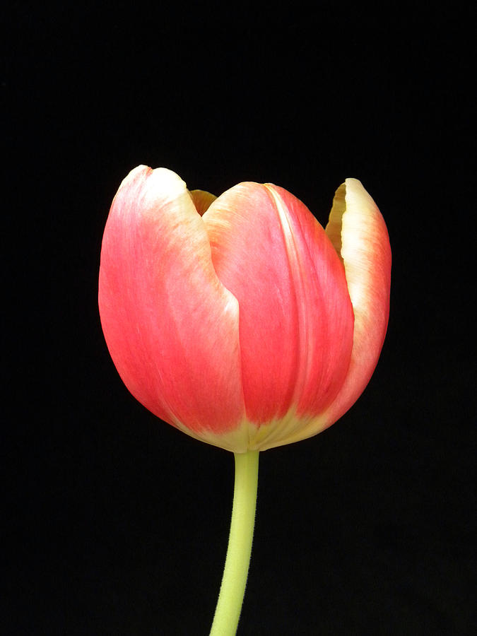 One Tulip Photograph  - One Tulip Fine Art Print