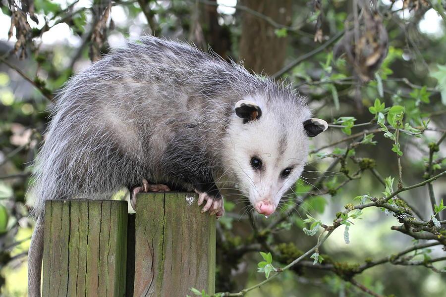 Opossum 2 Photograph