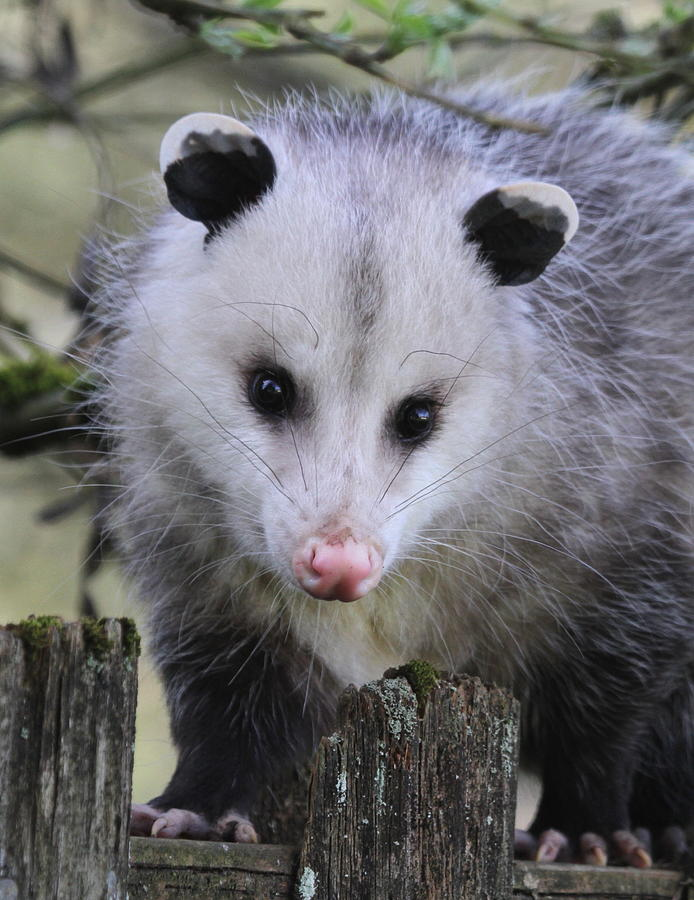 Marsupial Photograph - Opossum by Angie Vogel