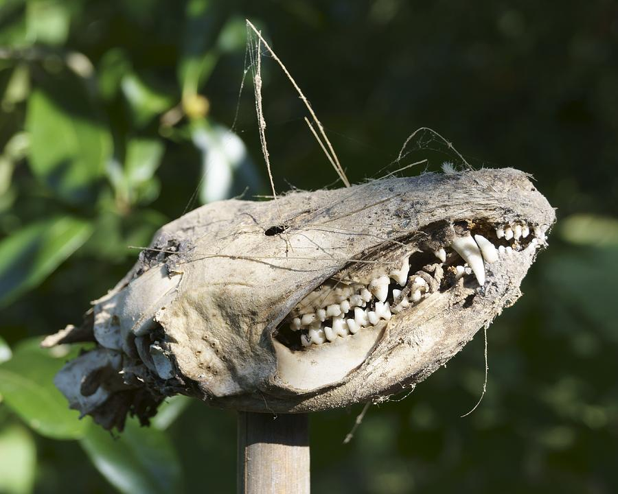 Opossum Skull On A Stake Photograph by MM Anderson