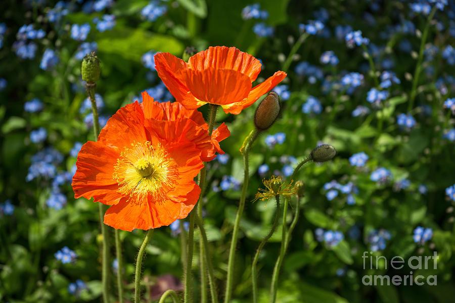 Orange and blue beautiful spring orange poppy flowers in bloom is a