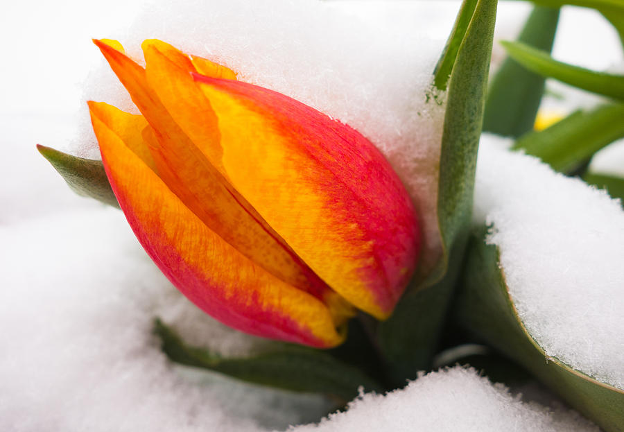Orange And Red Tulip In The Snow Photograph