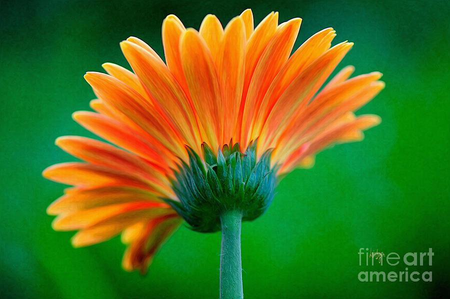Zinnia Photograph - Orange Blast by Lois Bryan