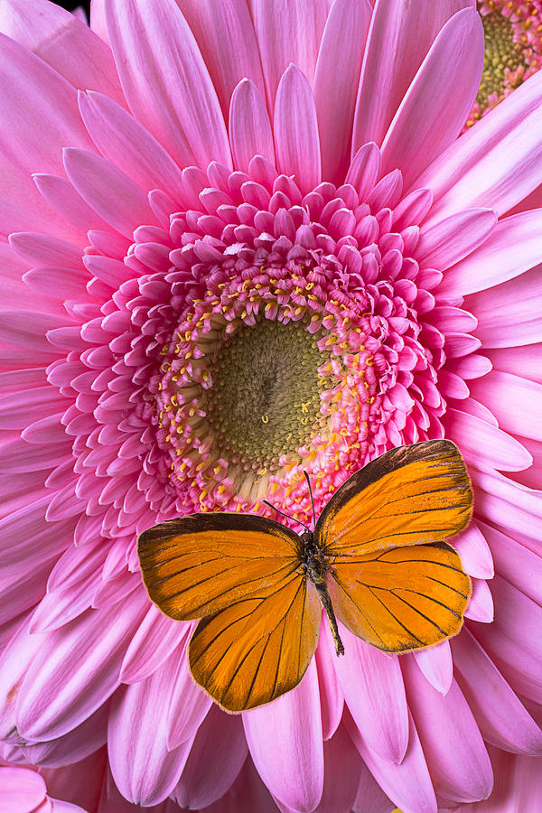 Orange Photograph - Orange Butterfly On Pink Daisy by Garry Gay