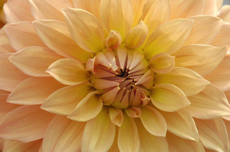 Orange Dahlia Closeup Photograph  - Orange Dahlia Closeup Fine Art Print