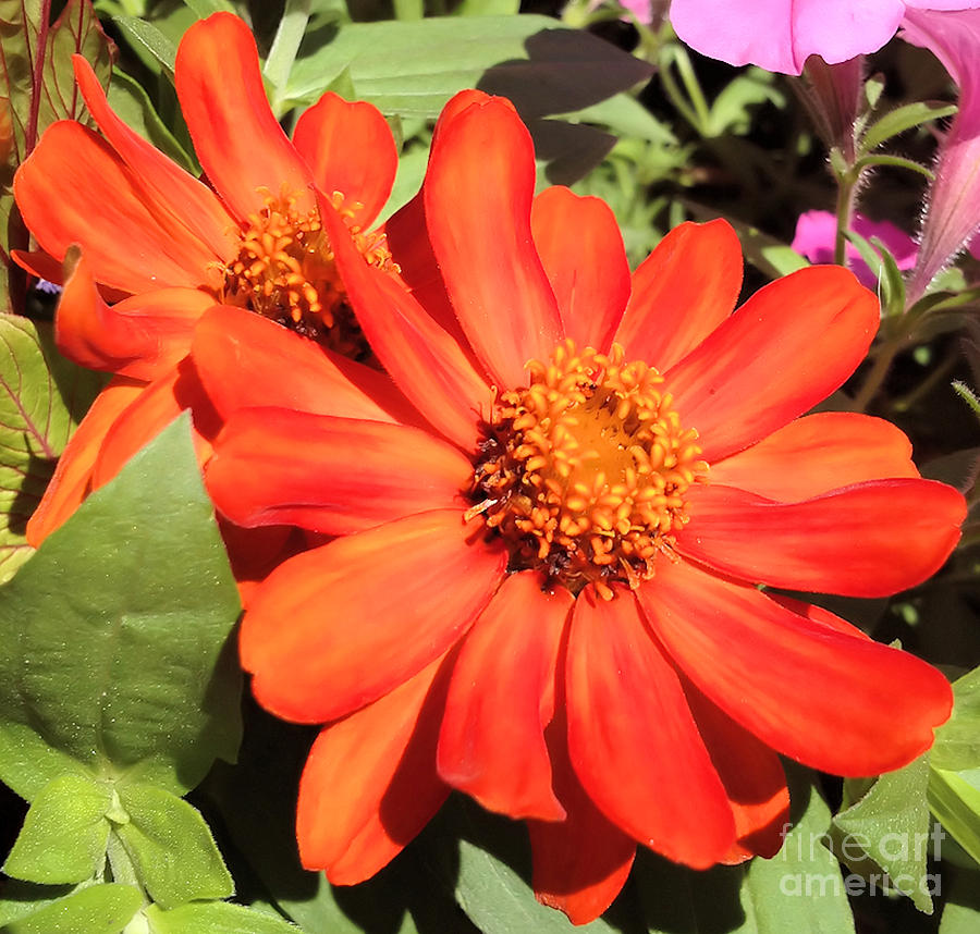 Orange Daisy Photograph  - Orange Daisy Fine Art Print