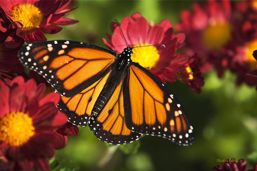 Orange Drift Monarch Butterfly Photograph