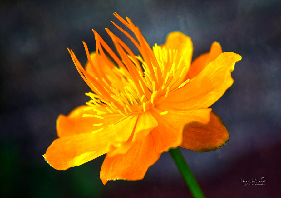 Orange Flower Photograph  - Orange Flower Fine Art Print