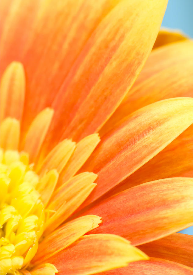 Orange Gerbera Petals Photograph