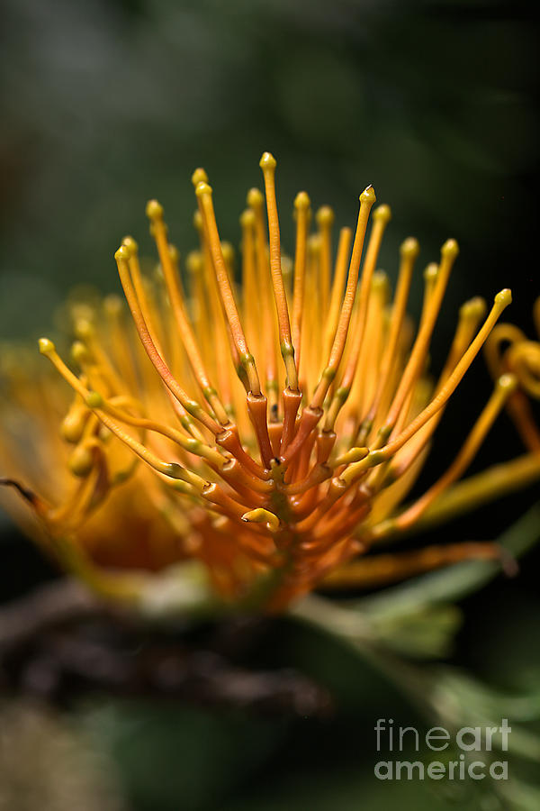 Grevillea Photograph - Orange Grevillea by Joy Watson