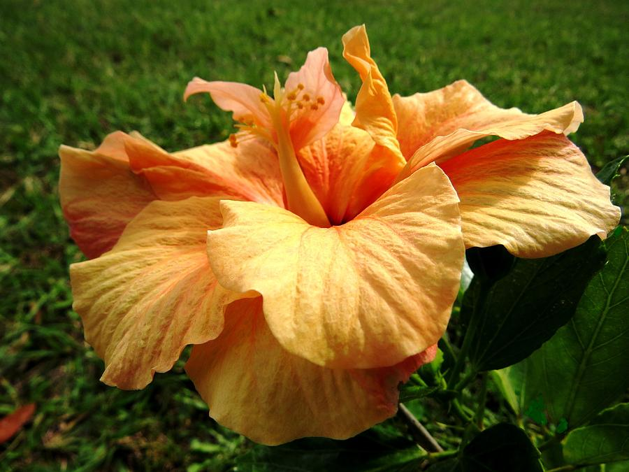 Orange Hibiscus Photograph  - Orange Hibiscus Fine Art Print