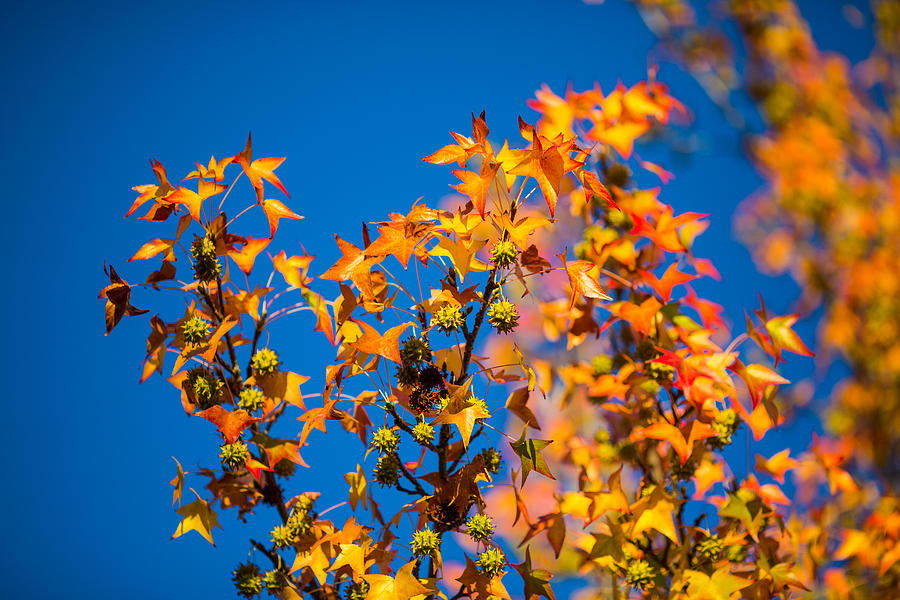 Orange Leaves Photograph  - Orange Leaves Fine Art Print