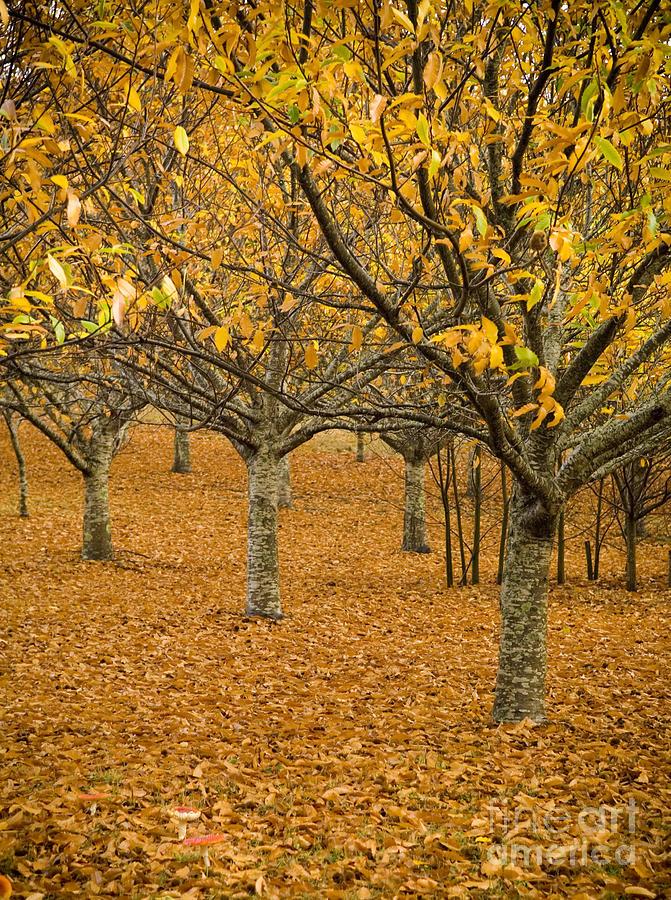 Orange Orchard Photograph