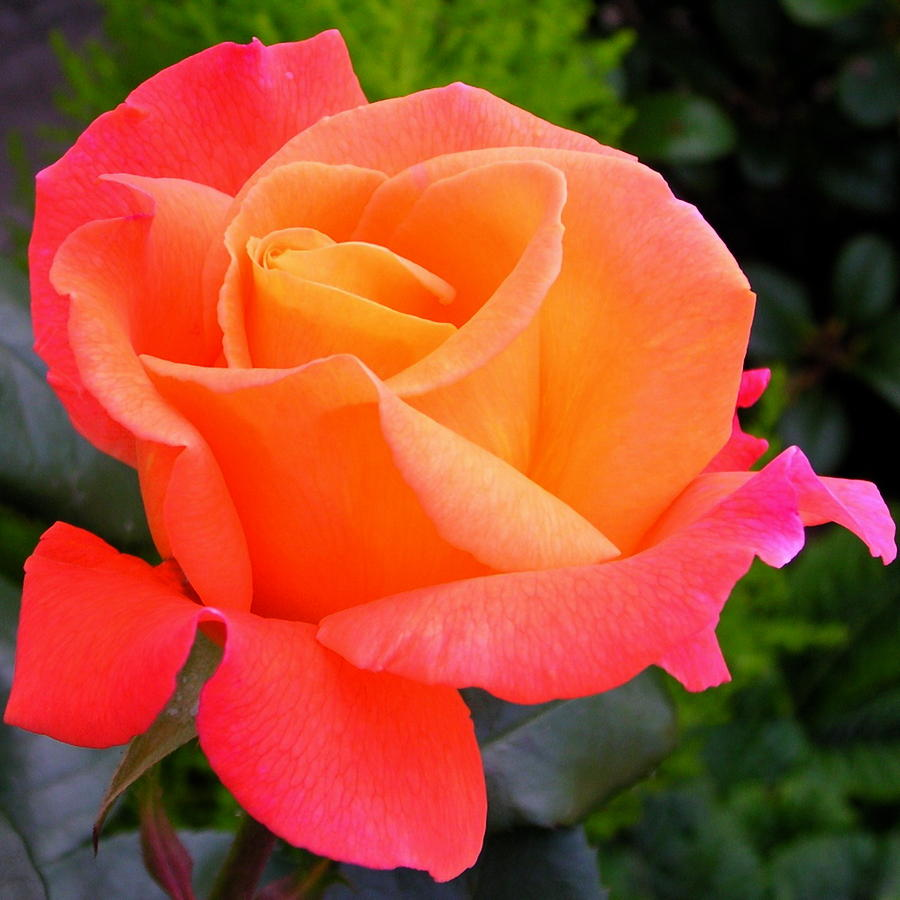 Orange Pink Rose Flower Close Up Photograph by Lynne Dymond