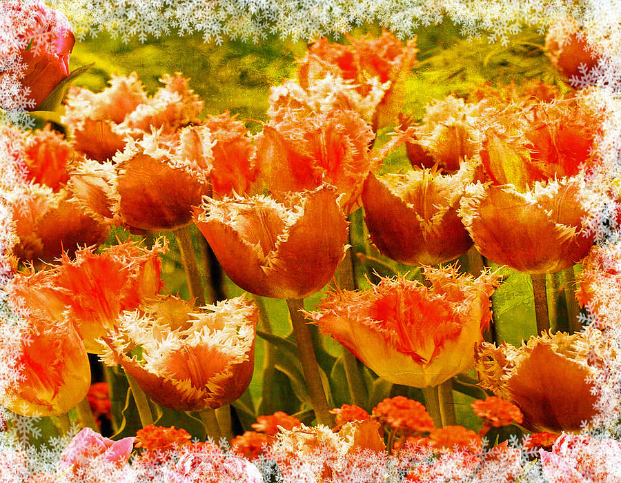 Orange Princess Fringed Tulips Photograph