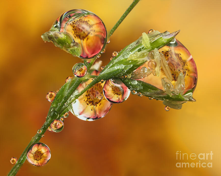 Orange Rose Refraction On Grass Seed 5 Photograph