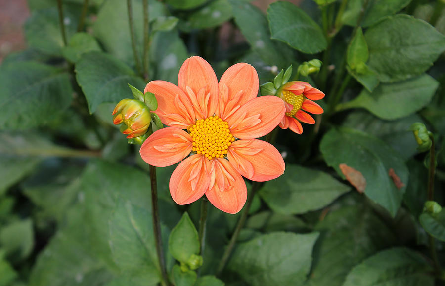 Orange Sherbert Dahlia Photograph