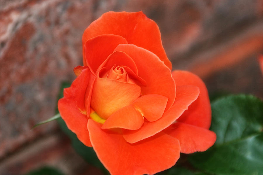 Orange Sherbert Photograph  - Orange Sherbert Fine Art Print