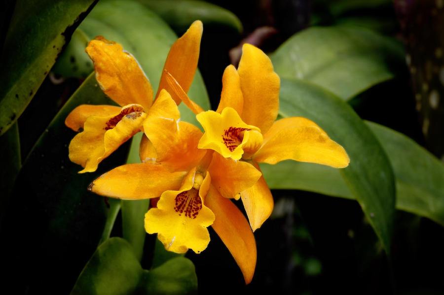Orange Spotted Lip Cattleya Orchid Photograph
