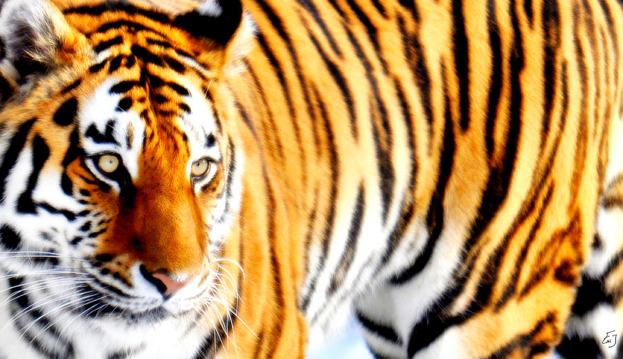 Tiger Photograph - Orange Striped by Emily Stauring