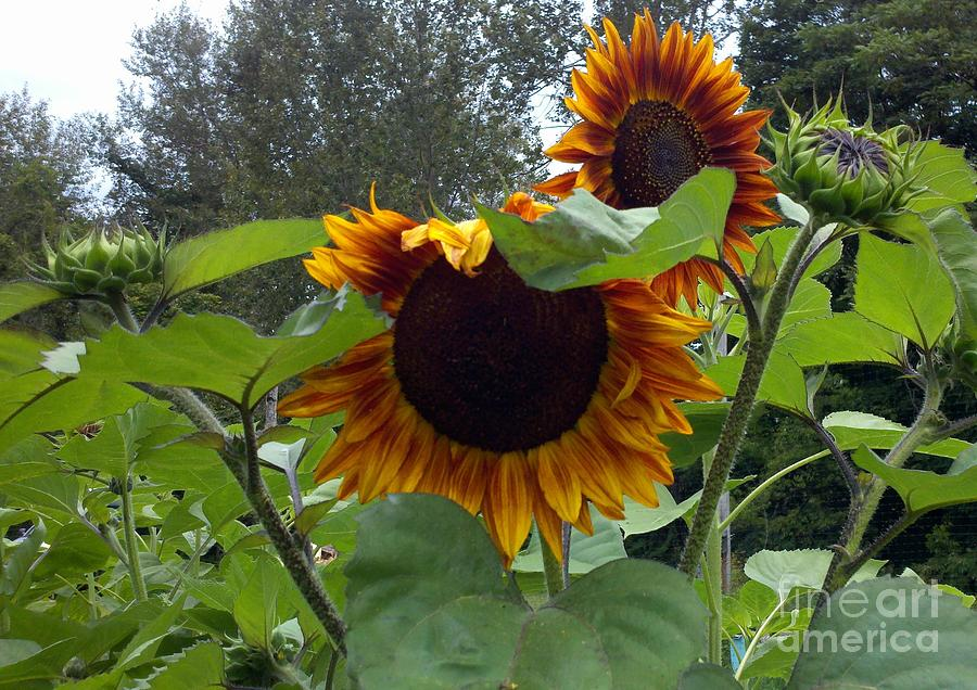 Sunflower Photograph - Orange Sunflowers by Polly Anna