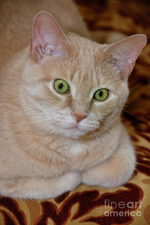 Orange Tabby Cat Poses Royally Photograph