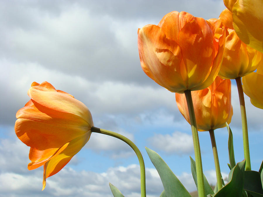 Orange Tulip Flowers Art Prints Tulips Floral Photograph  - Orange Tulip Flowers Art Prints Tulips Floral Fine Art Print