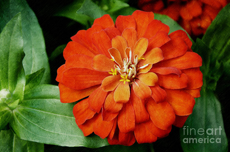 Orange Velvet Zinnia Photograph