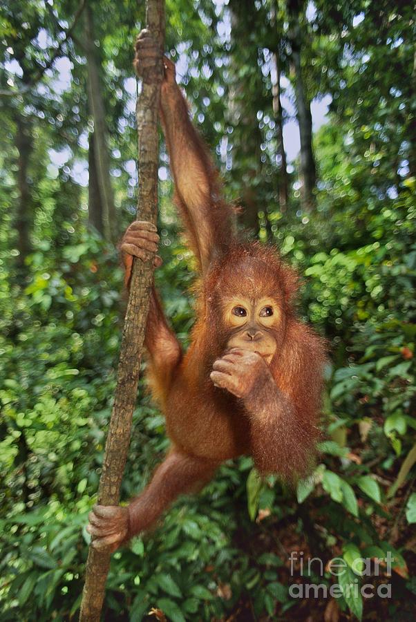 Animal Behavior Photograph - Orangutan  by Frans Lanting MINT Images