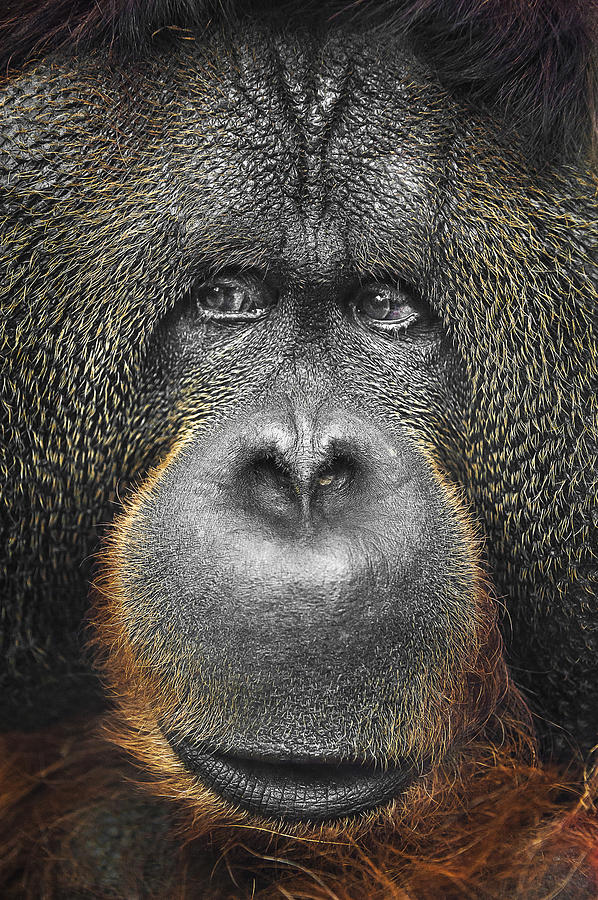 Orangutan Photograph
