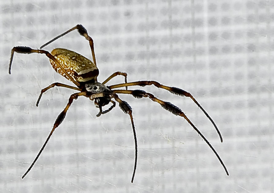 Orb Spider 4 Photograph