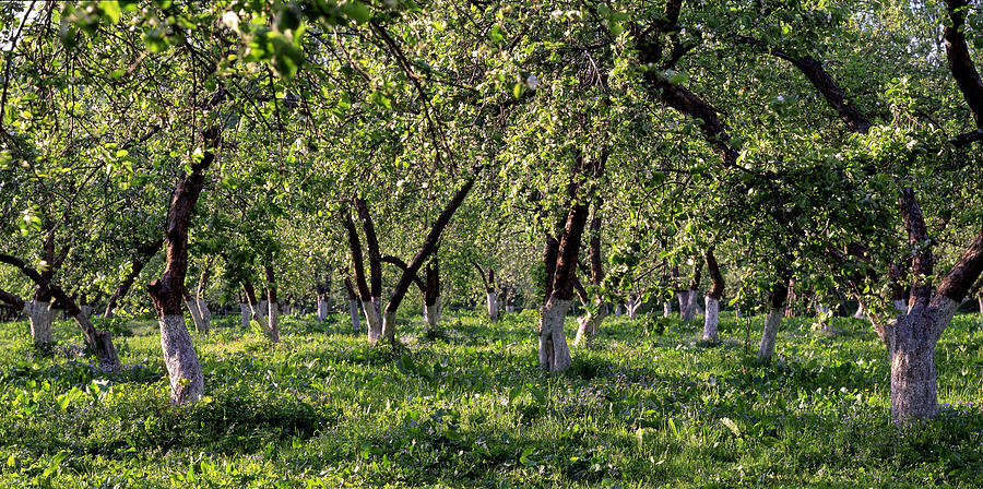 Orchard Photograph