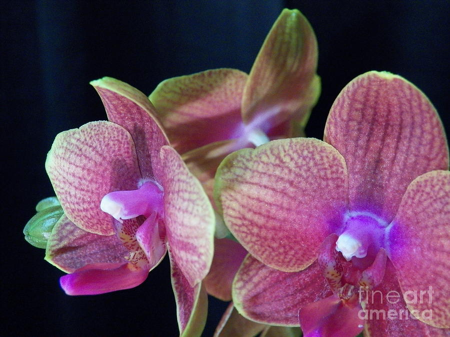 Orchid Painting - Orchid 2 by Judy Via-Wolff