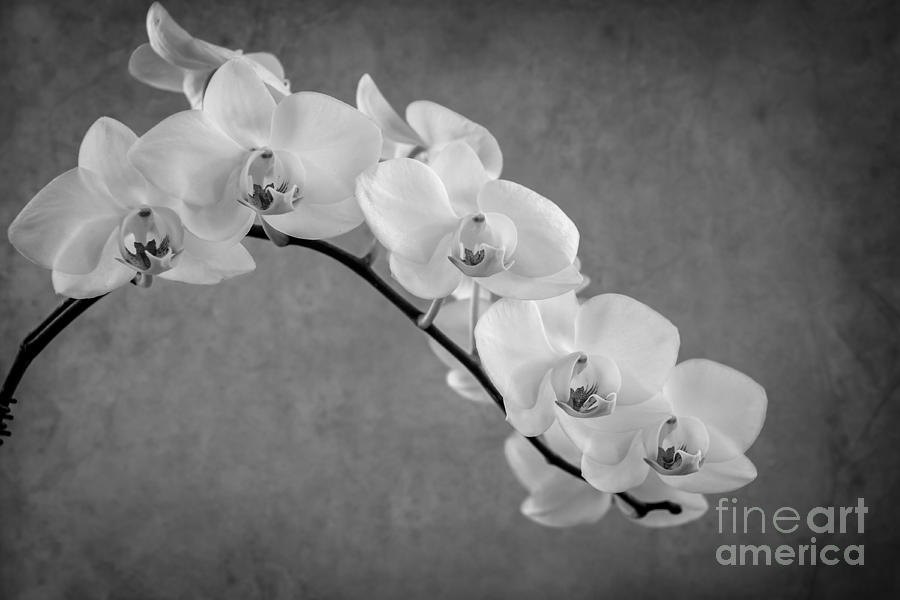 Orchid Bw Photograph