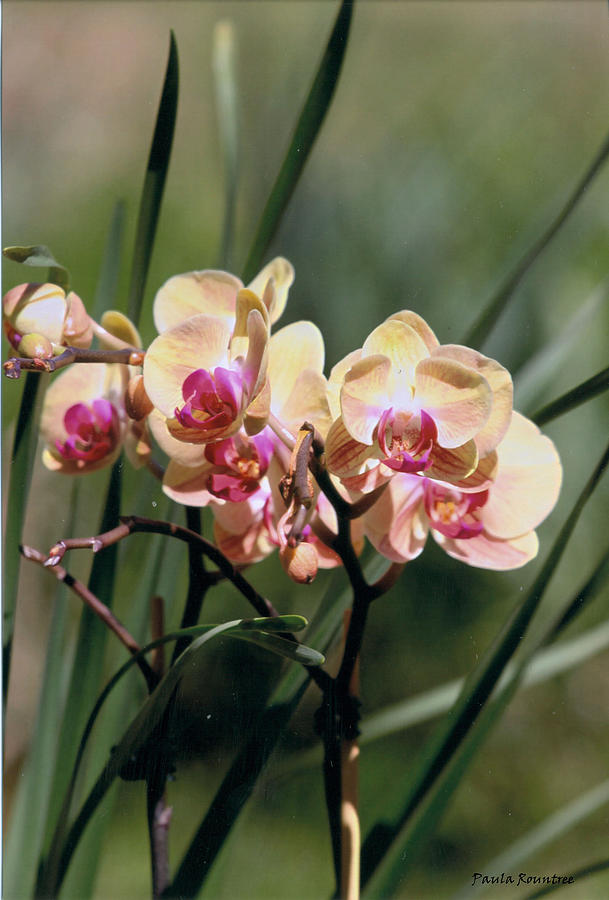 Orchid Photograph - Orchid Dream by Paula Rountree Bischoff
