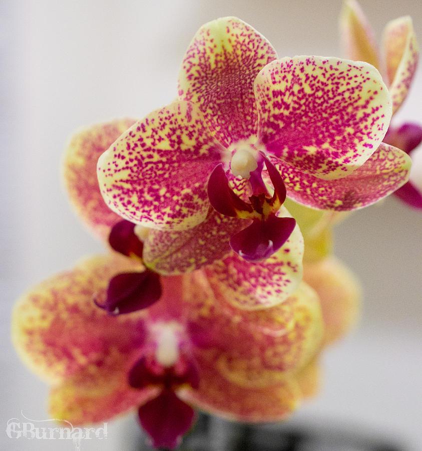 Orchid Flowers Phalaenopsis Photograph