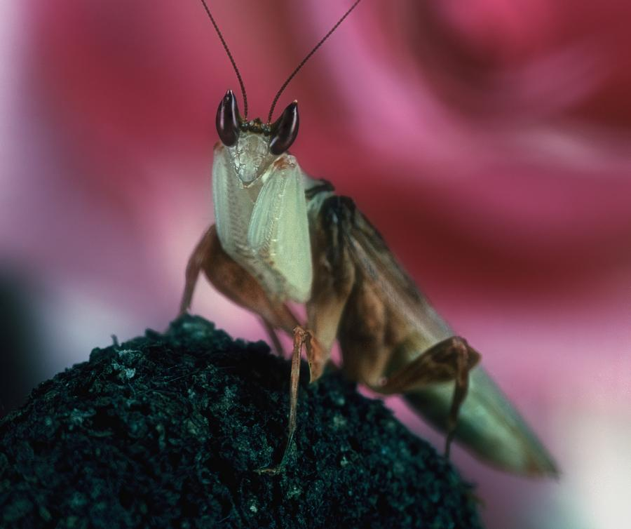 Orchid Male Mantis  Hymenopus Coronatus  Portrait  2 Of 9 Photograph  - Orchid Male Mantis  Hymenopus Coronatus  Portrait  2 Of 9 Fine Art Print
