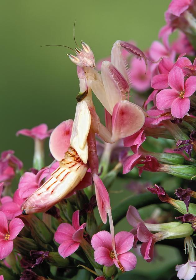 Orchid Mantid Hymenopus Coronatus Photograph