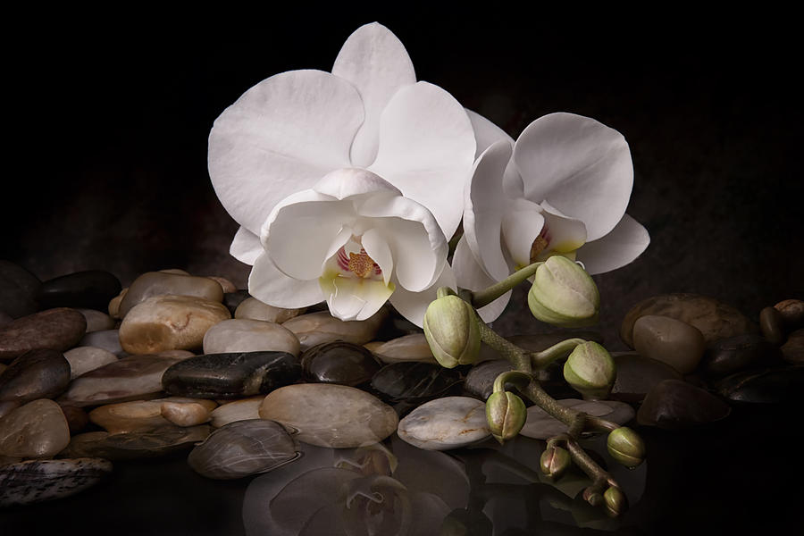 Orchid - Sensuous Virtue Photograph  - Orchid - Sensuous Virtue Fine Art Print