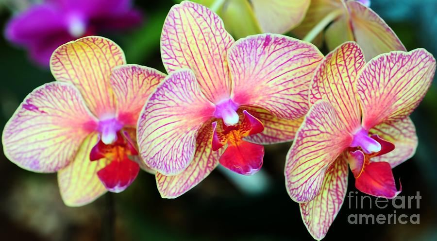 Orchid Trio Photograph