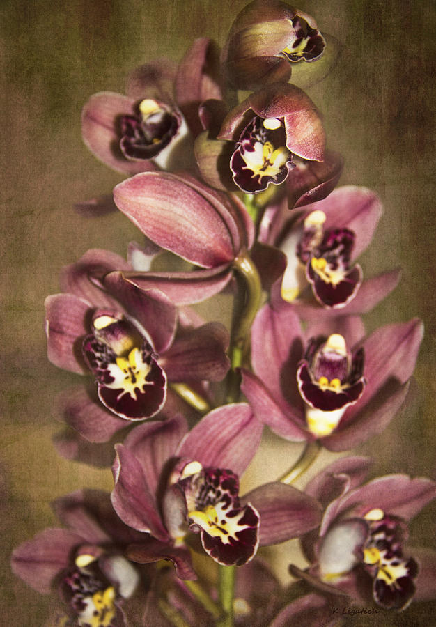 Orchids - Cymbidium  Photograph