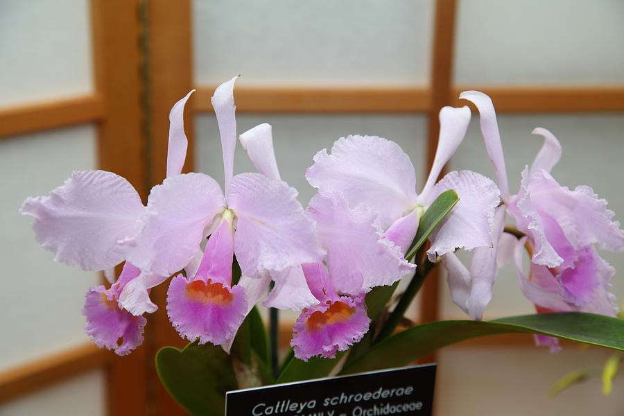 Orchids - Us Botanic Garden - 011315 Photograph