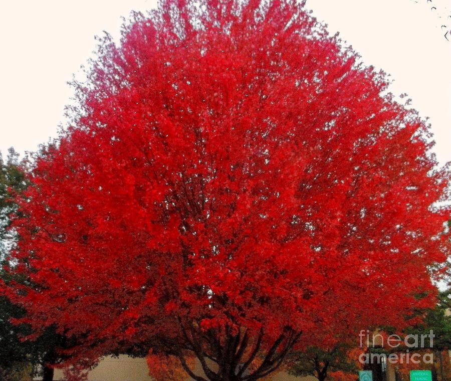 Red Maple Photograph - Oregon Red Maple Beauty by Kim Petitt