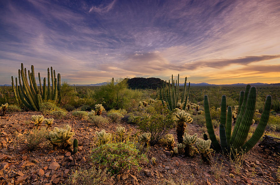 Sunset Photograph - Organ Pipe Cactus Sunset  by Saija  Lehtonen