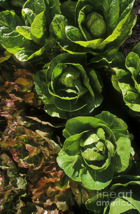 Agronomy Photograph - Organic Lettuce by Craig Lovell