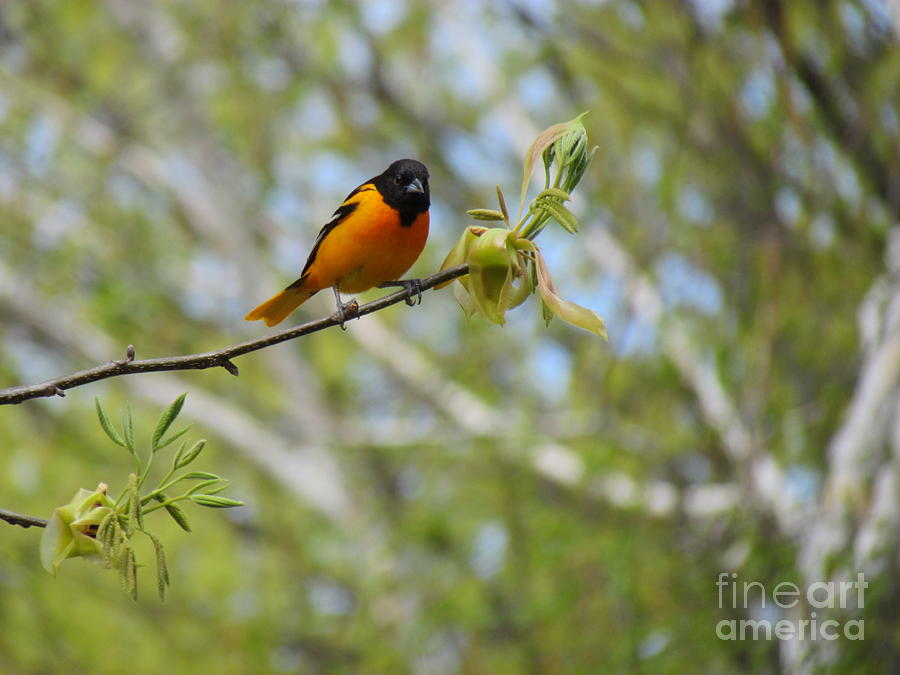 Oriole Photograph  - Oriole Fine Art Print