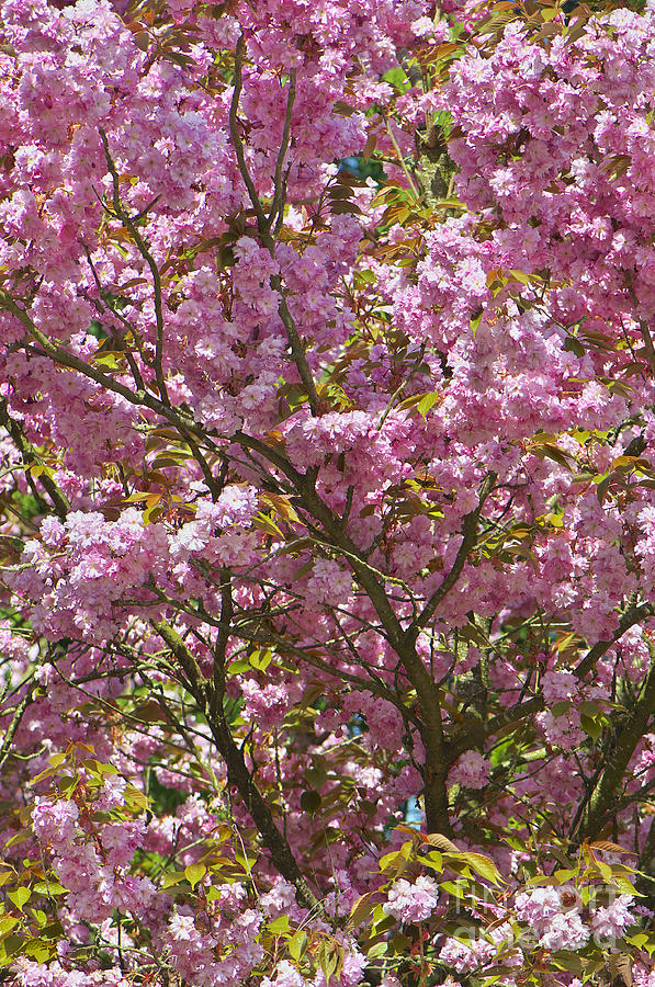 Ornamental Cherry Tree Photograph  - Ornamental Cherry Tree Fine Art Print
