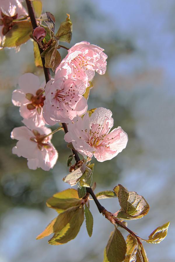 Ornamental Plum Tree Pink Flower Blossoms Photograph