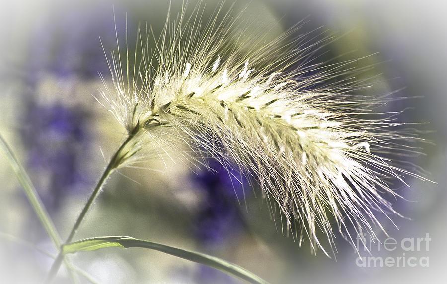 Ornamental Sweet Grass Photograph