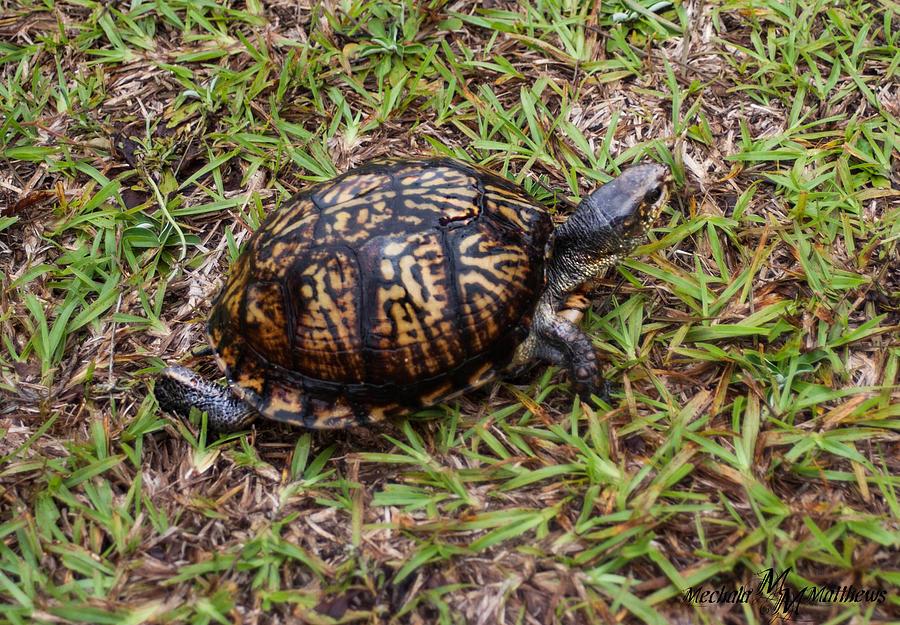 Ornate Box Turtle Photograph - Box Turtle by Mechala  Matthews